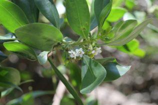 Myoporum boninense