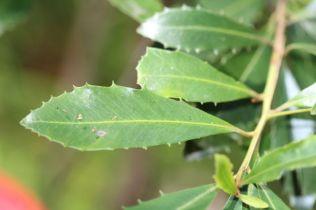 Myrsine variabilis