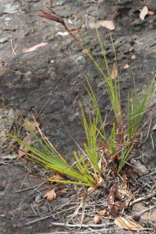 Patersonia glabrata