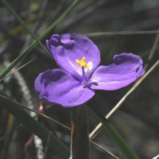 Patersonia sericea