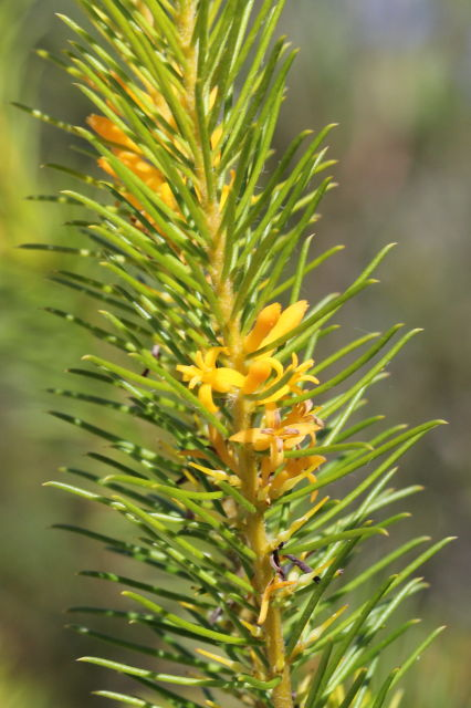 Persoonia isophylla