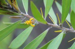 Persoonia lanceolata