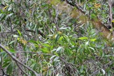 Persoonia levis