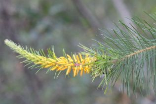 Persoonia pinifolia