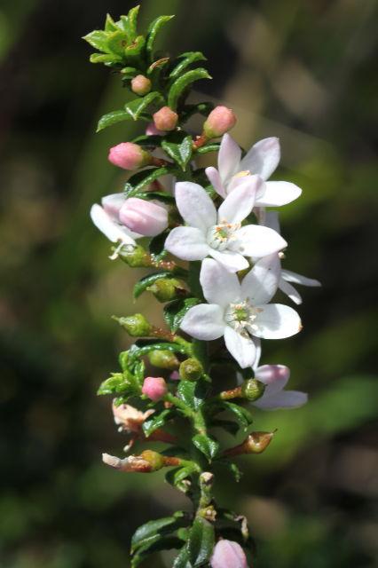 Philotheca buxifolia