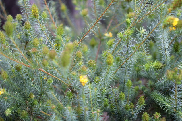 Phyllota grandiflora