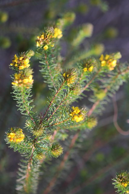 Phyllota phylicoides