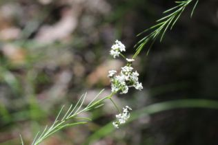Platysace linearifolia