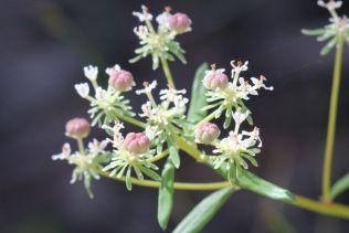 Poranthera corymbosa