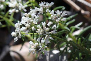 Poranthera ericifolia