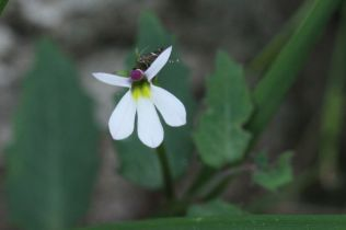 Pratia purpurascens