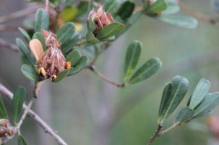 Pultenaea daphnoides