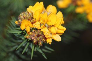 Pultenaea stipularis