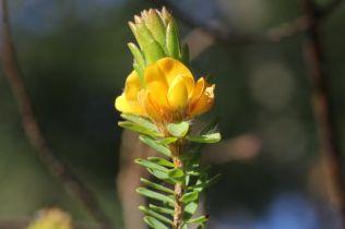 Pultenaea tuberculata