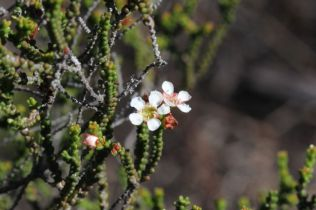 Baeckea brevifolia