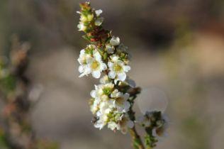 Baeckea diosmifolia3
