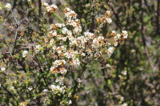 Baeckea diosmifolia5