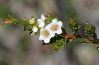 Baeckea diosmifolia6