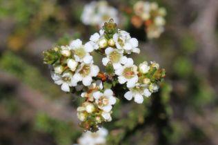 Baeckea diosmifolia8