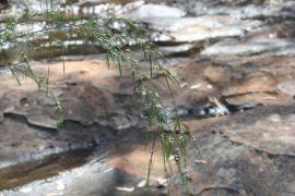 Baeckea linifolia