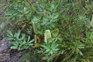 Banksia oblongifolia