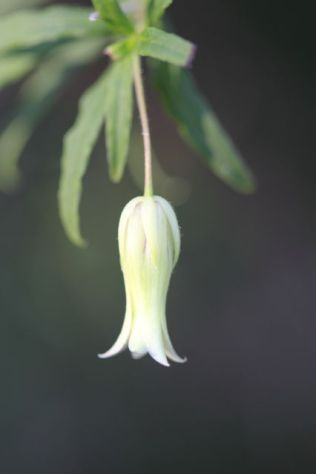 Billardiera scandens