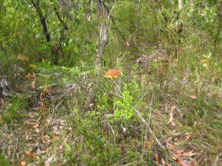Blandfordia nobilis