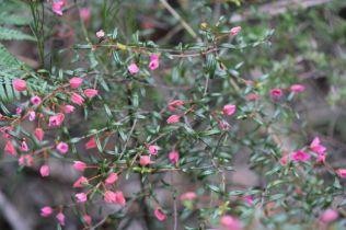 Boronia ledifolia