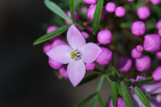 Boronia pinnata