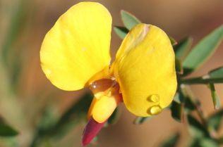 Bossiaea heterophylla