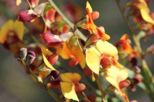 Bossiaea scolopendria