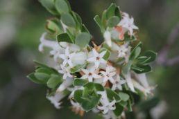 Brachyloma daphnoides