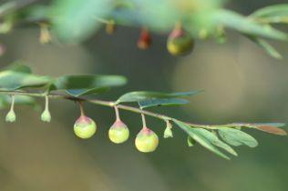 Breynia oblongifolia