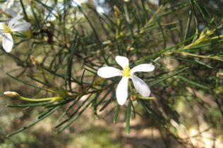 Ricinocarpus pinifolius
