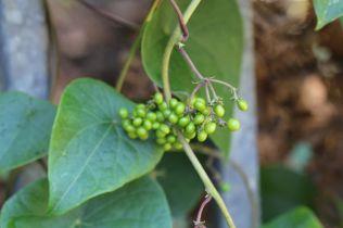Stephania japonica