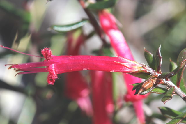 Styphelia tubiflora