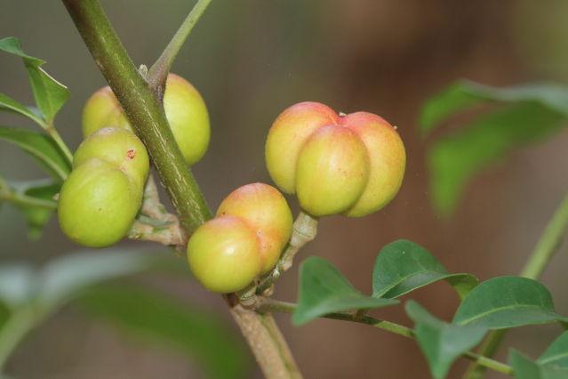 Synoum glandulosum