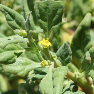 Tetragonia tetragonioides4