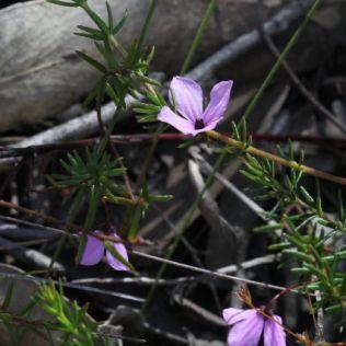 Tetratheca ericifolia