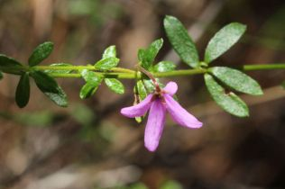 Tetratheca thymifolia