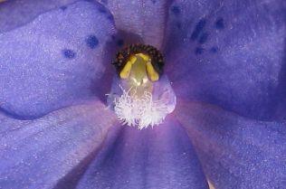 Thelymitra ixioides