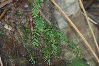 Tmesipteris truncata