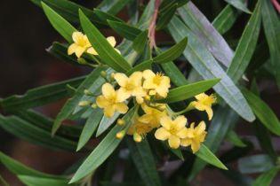 Tristania neriifolia