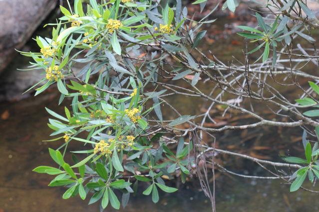 Tristaniopsis laurina