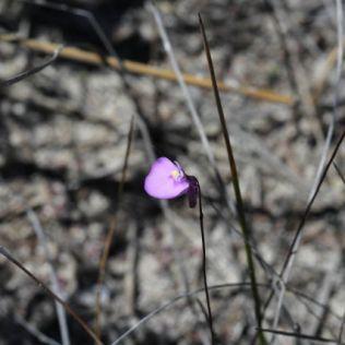 Utricularia uniflora