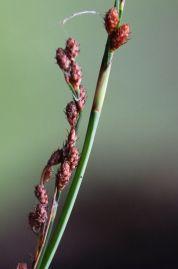 Baloskion tetraphyllum