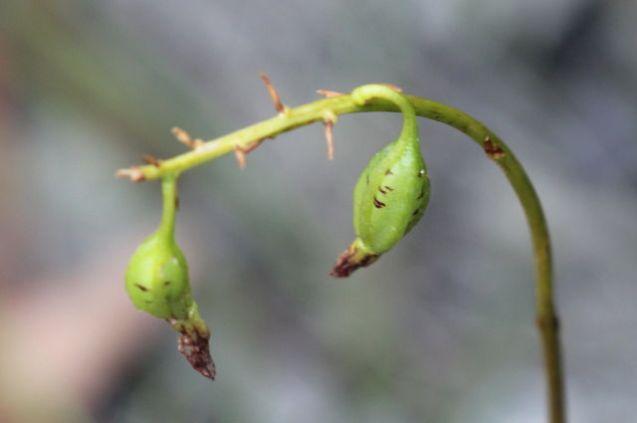 Dipodium variegatum