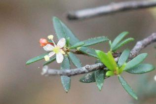 Micrantheum ericoides