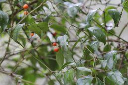 Morinda jasminoides