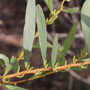 Acacia longifolia